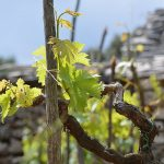 New leaves on the vine